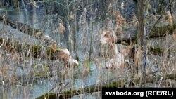 У бязьлюднай вёсцы пасяліліся бабры. Паваленыя імі дрэвы