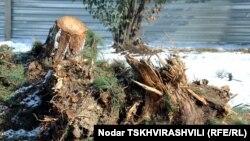 კიკვიძის პარკში გაჩეხილი ხეები