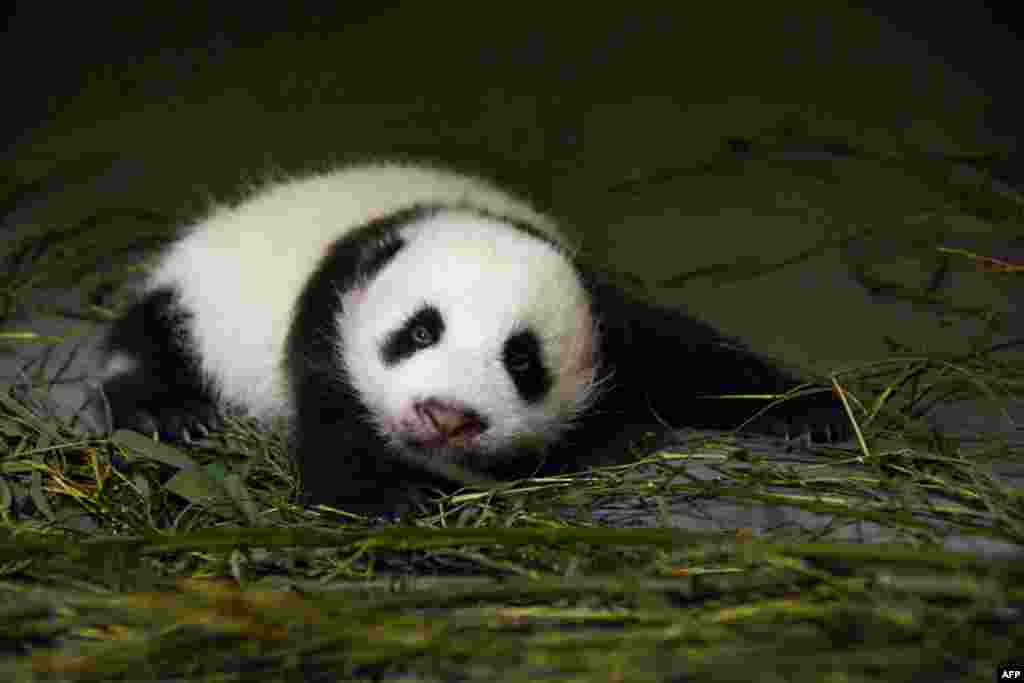 A photograph released by the Taipei City Zoo shows giant panda Yuan Yuan's baby panda opening her eyes for the first time. (AFP)