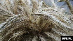 Почти половина рекордного урожая пшеницы 2008 года годится только на корм скоту