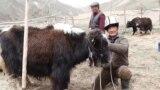 Kyrgyzstan - milking yaks. yak herder farmer agriculture milk - screen grab