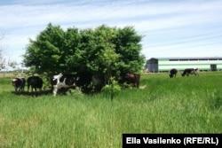 В жару коровы прячутся в тени