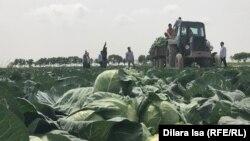 Фермеры убирают урожай капусты. Туркестанская область, 29 апреля 2020 года.