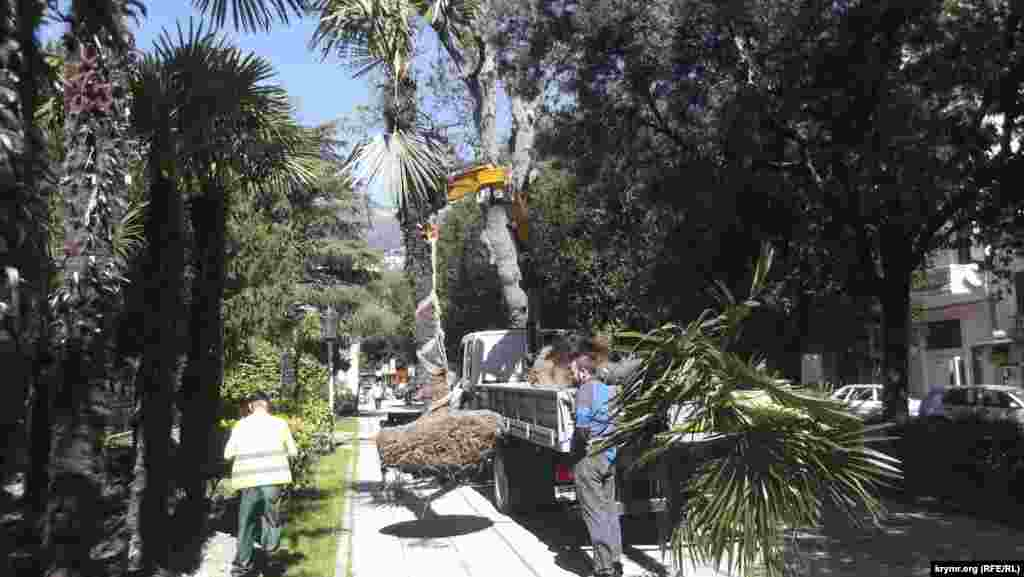 У Ялті пальми з вулиці Рузвельта пересаджують на набережну, 29 квітня 2017 року