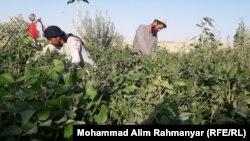 آرشیف، یک کشتزار سویا در شمال افغانستان