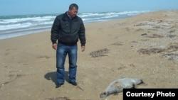 Туша мертвого тюленя на берегу Каспийского моря. Баутино, Мангыстауская область, 27 апреля 2013 года.