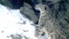 Самка снежного барса Вита