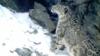 В Дигорском ущелье Северной Осетии гибнет домашний скот. Жители подозревают барсов