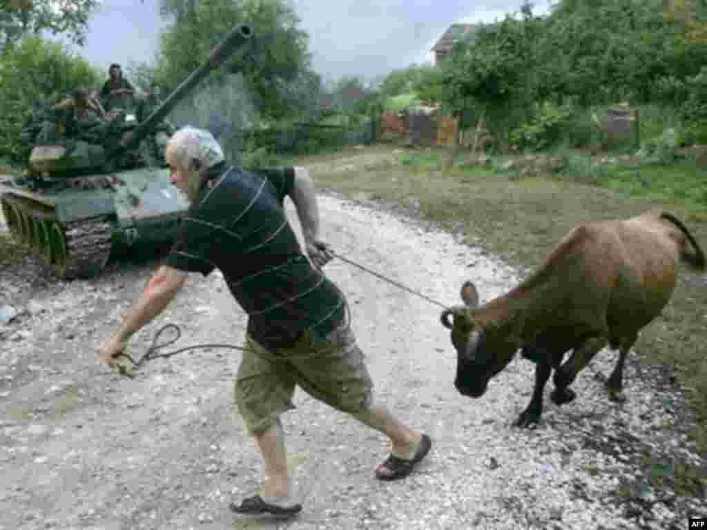 Незначительные боевые действия велись также и в Кодорском ущелье Абхазии. На фото местный житель спасает свой скот, опасаясь, что в его деревне начнутся бои между грузинскими и российско-абхазскими подразделениями. 14 августа 2008 года.