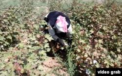 Мақта теріп жүрген әйел. Оңтүстік Қазақстан облысы, 16 қыркүйек 2014 жыл. (Көрнекі сурет)