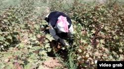 Женщина на уборке хлопка. Южно-Казахстанская область, 16 сентября 2014 года.