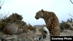 Persian leopard in the wild (photo WWF-Russia/V. Lukarevsky, RAS/S. Fatee