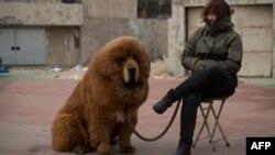 «شیر تقلبی»، سگ بزرگ از نژاد ماستیف تبت، در چین.