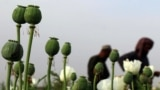 AFGHANISTAN -- Afghan farmers extract raw opium from poppy buds as the cultivation season of the banned crop starts in Kandahar, April 9, 2018