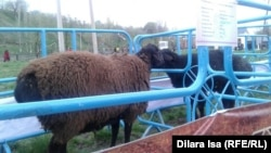 На выставке племенных овец. Шымкент, 18 марта 2016 года.
