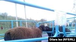 На выставке племенных овец в городе Шымкенте. Иллюстративное фото.