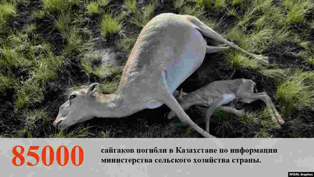 В пятницу в министерстве сельского хозяйства провели брифинг, в ходе которого сообщили, что число погибших в Казахстане сайгаков достигло 85 тысяч. Всего в Казахстане насчитывалось около 200 тысяч сайгаков. По предположениям чиновников, причина гибели животных - инфекционное заболевание.