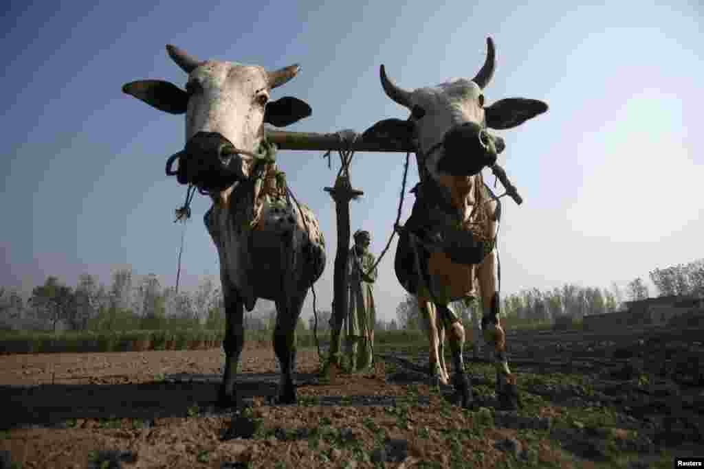 A farmer uses his oxen to plough a sugarcane field on the outskirts of Peshawar, Pakistan on November 25. (Reuters//Fayaz Aziz)