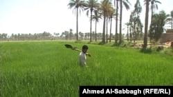 زراعة رز العنبر في حقل بالديوانية
