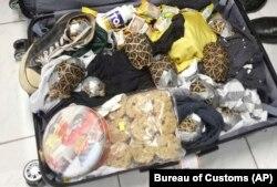این لاکپشتها از چمدانی یک مسافر فیلیپینی کشف شده است.