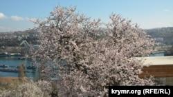 Миндаль цветет в Севастополе 13 марта, 2020 год