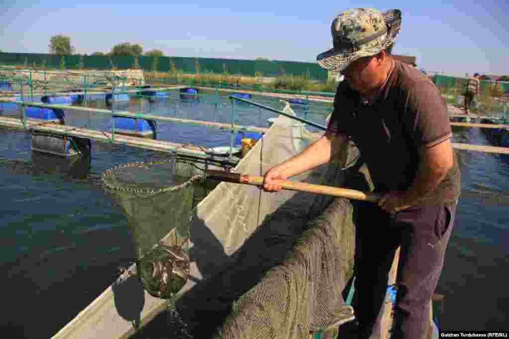 Один из рыбхозов в Панфиловском районе Чуйской области. Работа кипит - осенью приток воды в пруды снижается, и молодь надо «переселять» в бассейны. Все делается вручную.