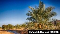 باغ درخت خرما در ولایت فراه