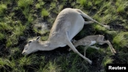 What Is Killing Off Kazakhstan's Rare Antelope?