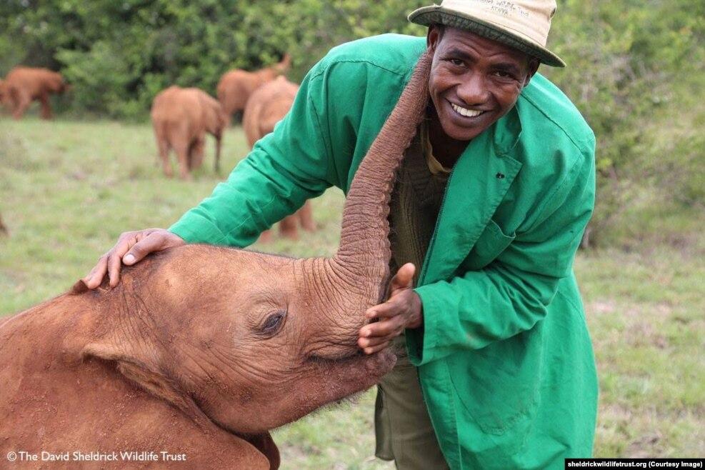 فیل های یتیم در مرکز شلدریک ذر نایروبی،کنیا http://www.sheldrickwildlifetrust.org دانشمندان و فعالان محیط زیست بار دیگر در مورد خطر انقراض گونه های جانوری و شکار غیرقانونی و قاچاق حیوانات هشدار دادند. شکار غیرقانونی فیلها برای فروش عاجشان همچنان ادامه دارد. در اوایل قرن بیستم بیش از ۱۰ میلیون فیل در آفریقا وجود داشت. این تعداد در سال ۱۹۷۹ به یک میلیون و ۳۰۰ هزار کاهش یافت. هم اکنون فقط حدود ۳۵۰ هزار فیل در آفریقا باقی مانده است. این رقم تا ده سال دیگر نصف خواهد شد.