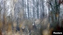 Мінприроди оскаржить рішення, яким скасована заборона полювати на лося