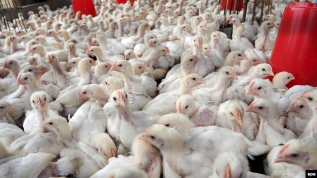 The Uzbek government plans to distribute 60,000 chickens to public-sector workers.