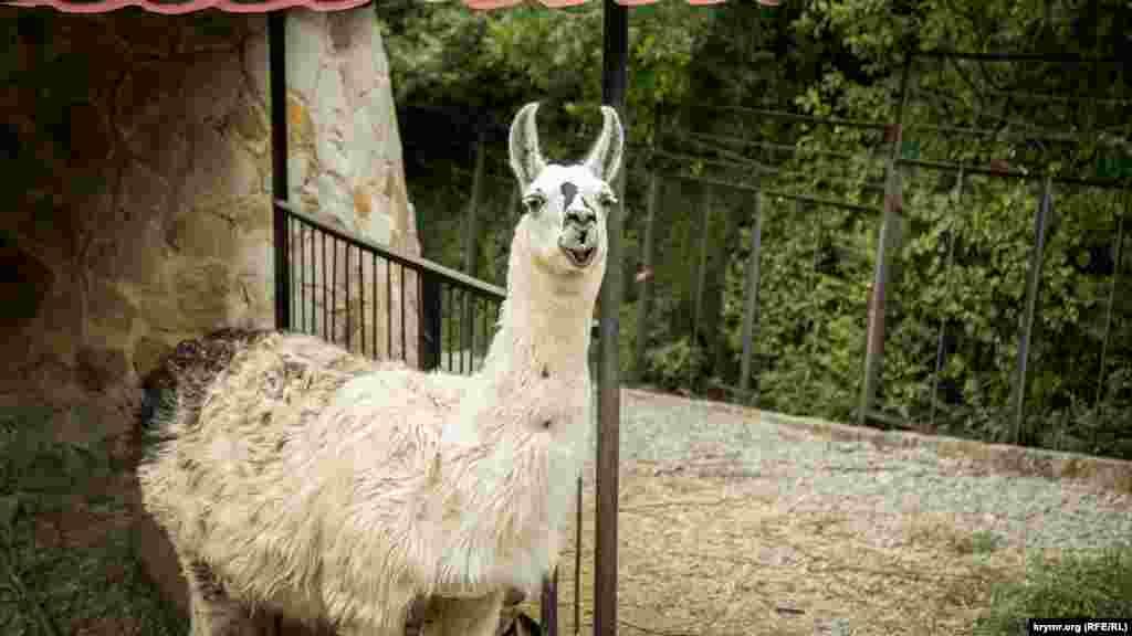 Лама в ялтинском зоопарке