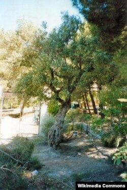 Оливковое дерево у деревни Альфакар около которого, по преданию, был застрелен Федерико Гарсия Лорка