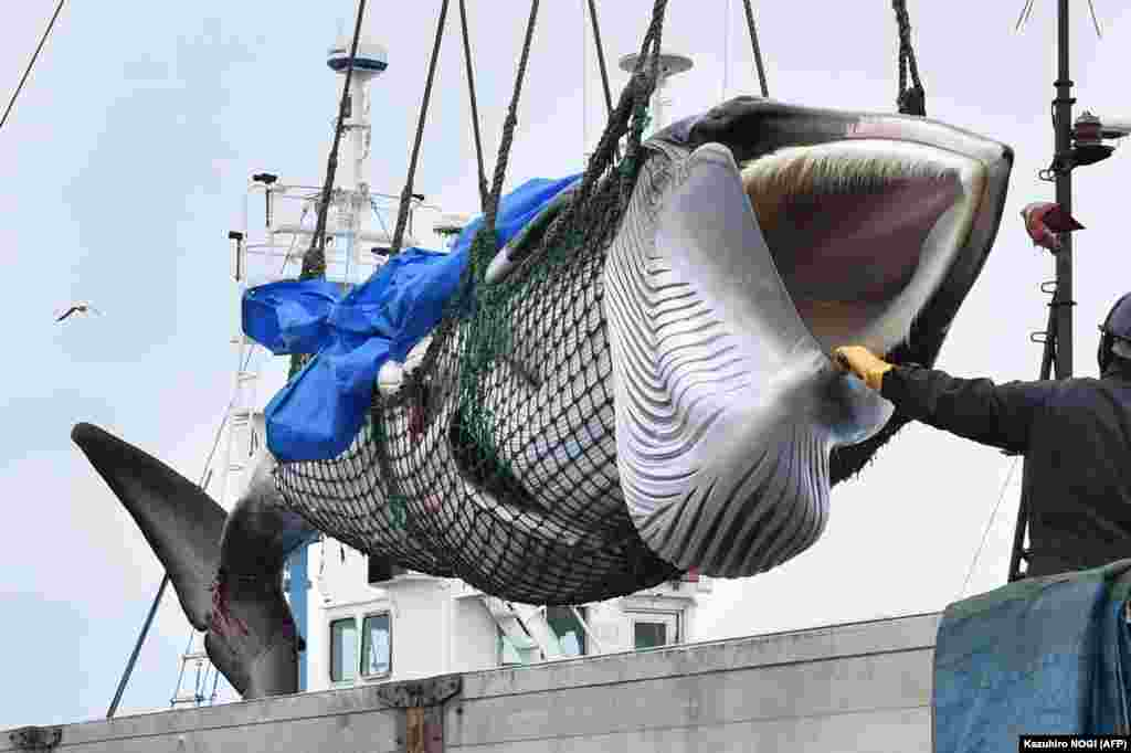 A dead minke whale is lifted by crane into a truck at a port in Kushiro, Hokkaido Prefecture, Japan. Japanese whalers brought ashore their first catches on July 1 as they resumed commercial hunting after a three-decade hiatus, brushing aside criticism from activists who say the practice is cruel and outdated. (AFP/Kazuhiro Nogi)