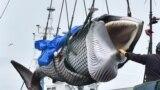 Злоўленага кіта пераносяць кранам з карабля на грузавік, порт Кусіра, Японія.
