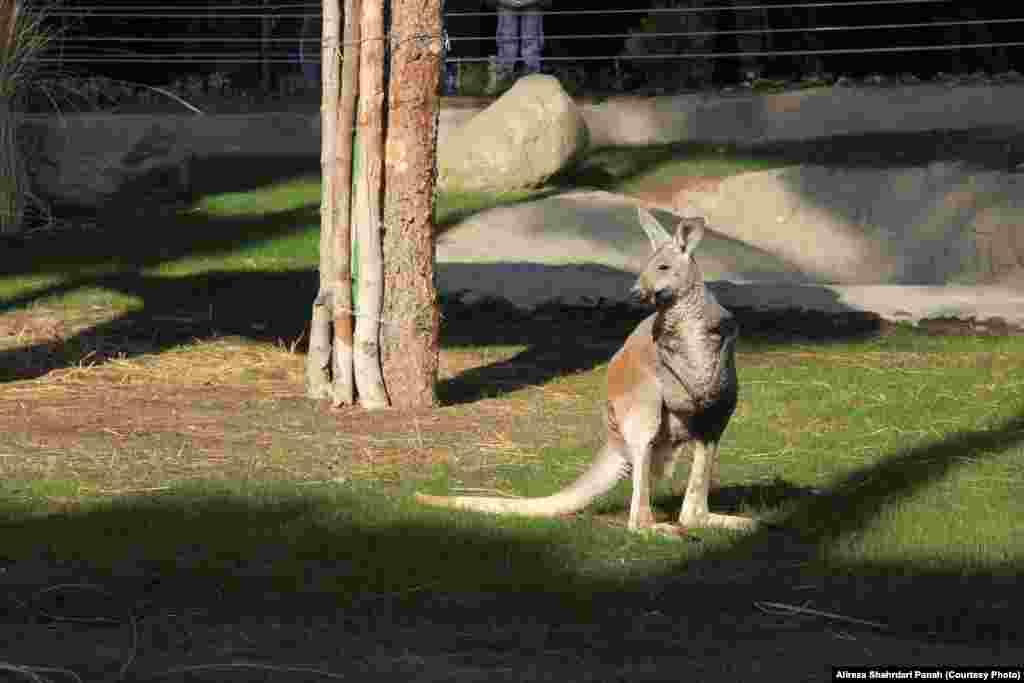 کانگوروی قرمز به استثنای زمینهای حاصلخیز جنوب استرالیا، سواحل شرقی و جنگلهای بارانی شمالی در سرتاسر این کشور پراکنده است