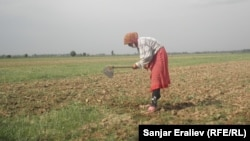 Кыргызстандын талаасында иштеген өзбекстандык аял.