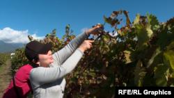Gürcüstanda şərab hazırlamağa üzüm yığılır