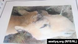 На снимке — голова мертвого самца сайгака. Фотография из архива Актюбинской областной территориальной инспекции лесного и охотничьего хозяйства.