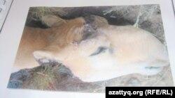 A photo of a dead saiga with its horns cut off