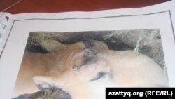Голова мертвого сайгака с отпиленными рогами. Фото из архива инспекции лесного и охотничьего хозяйства по Актюбинской области.