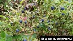 ФОТА ДНЯ: Чарніцы з Калінаўскага лесу (Мядзелскі раён). Місуна Павал