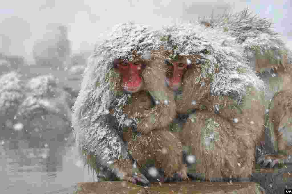 """Japanese macaque, commonly referred to as """"snow monkeys,"""" relax next to an open-air hot spring bath at the Jigokudani Monkey Park in the town of Yamanouchi. Some 160 of the monkeys inhabit the area and are a popular tourist draw. (AFP/Kazuhiro Nogi)"""