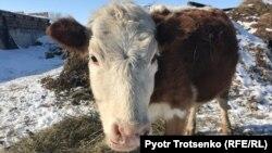 Корова во дворе Николая Черноярова, жителя села Большой Чаган Западно-Казахстанской области. Февраль 2018 года.