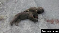 تصویری از کشته شدن دو بچه خرس در سمنان