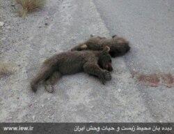 گفت و گوی محمد ضرغامی با کیوان هوشمند درباره کشتار دو بچه خرس در سمنان