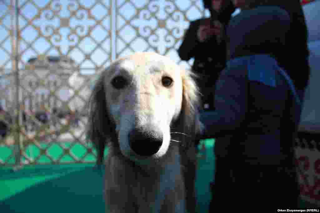 Собака породы Тазы.