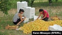 Сбор урожая абрикосов в Армении