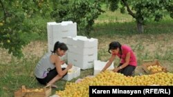 Armenia -- Apricot harvest in Ararat province, 30Jun2012.