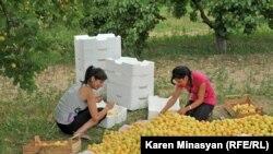 Armenia -- Apricot harvest in Ararat province, 30Jun2012.